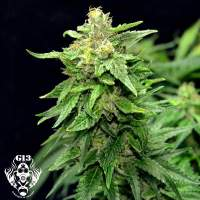Blue Cindy Feminised Seeds