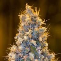 Blue Fire Feminised Seeds