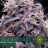 Blueberry Bliss AUTO Feminised Seeds