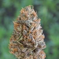 Bubba's Gift Feminised Seeds