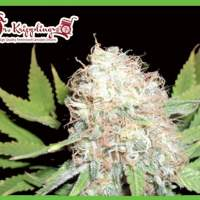 Bud Bud Bling Tingz Feminised Seeds