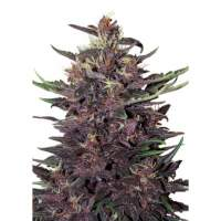 Purple Kush Auto Feminised Seeds