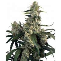 Quasar Feminised Seeds