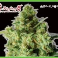 Bulk Smash Auto Feminised Seeds