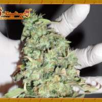 Buzz Light Gear Feminised Seeds