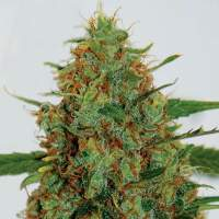 C99 Feminised Seeds