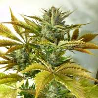 California Haze Autoflowering Regular Seeds