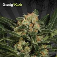 Candy Kush Auto Regular Seeds