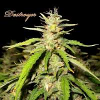 Destroyer Regular Seeds