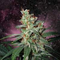 Carnival Feminised Seeds