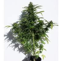 Caseus Auto Feminised Seeds