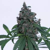 Caseus Feminised Seeds