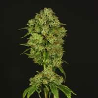 Casey Jones Regular Seeds
