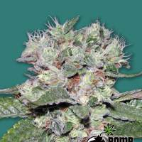 CBD Bomb Feminised Seeds