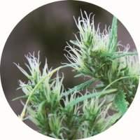 CBD Haze AUTO Regular Seeds