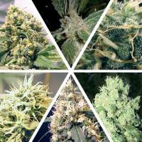 Ceres Mix Feminised Seeds