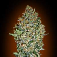CheeseBerry Feminised Seeds