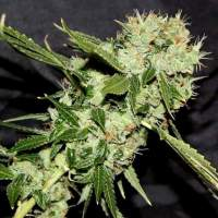Cheese 'n' Chaze Regular Seeds