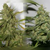 Cheese 'n' Chong Feminised Seeds