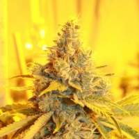 Cheese Dog Haze Feminised Seeds