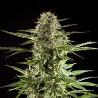 Cheesy CBD Auto Feminised Seeds