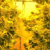 Cheesy Headband Feminised Seeds