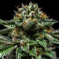 Chempie Feminised Seeds