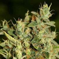 ChemWreck Kush Regular Seeds