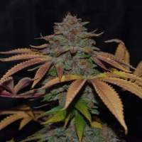 Cherry Razz Regular Seeds
