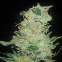 Cinex Regular Seeds