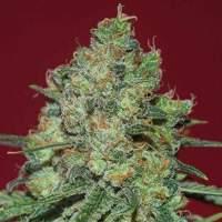 Clinical White CBD Feminised Seeds