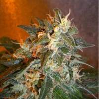 Cobra Autoflowering Regular Seeds