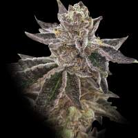 Cookie OX Regular Seeds