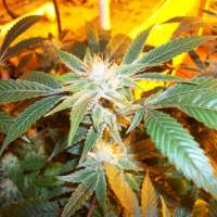 Corleone Kush Regular Seeds