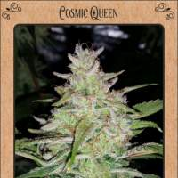 Cosmic Queen Auto Feminised Seeds
