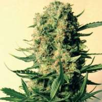 Critical Skunk Regular Seeds