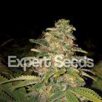 Critical Blue Auto Feminised Seeds