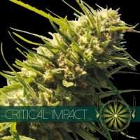 Critical Impact Feminised Seeds