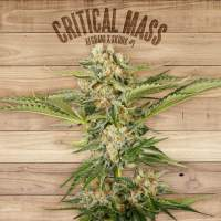 Critical Mass Feminised Seeds