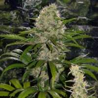 Critical Mass Mr Nice Regular Seeds