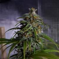 Dead Lights CBD Regular Seeds