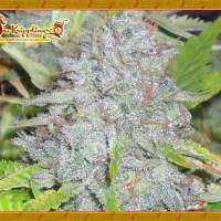 Delhi Friend Feminised Seeds