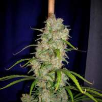 Destroyer Feminised Seeds