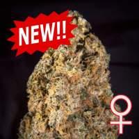 Diamond Queen Kush Auto Feminised Seeds