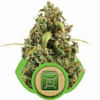 Diesel Automatic Feminised Seeds