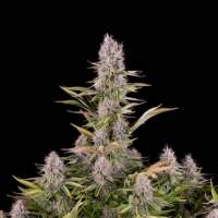 Amnesia Kush Feminised Seeds