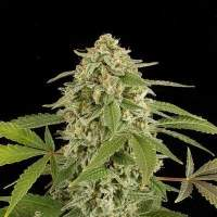 White Widow Automatic Feminised Seeds