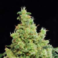 Blue Hash Feminised Seeds
