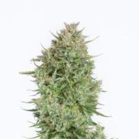 Blue Kush Autoflowering Feminised Seeds