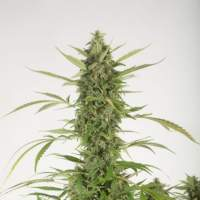 Bubba Kush Autoflowering Feminised Seeds